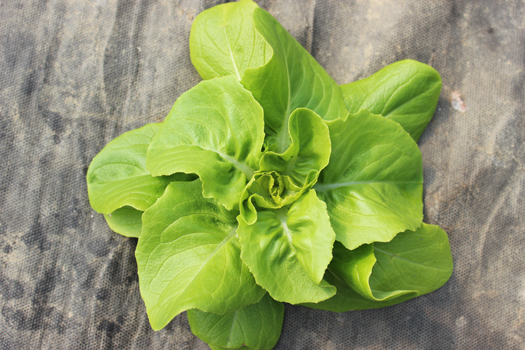 Salatkopf-biogaertnerei-attenweiler