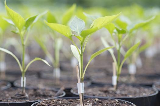 Paprikajungpflanze